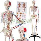 YA/L011A 人体附肌肉着色骨骼模型176cm